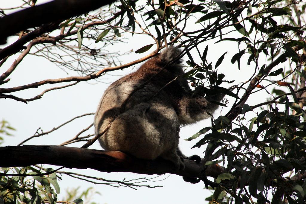 Australia1604_KangorooIsland_WesternKICaravanPark_KoalaWalk