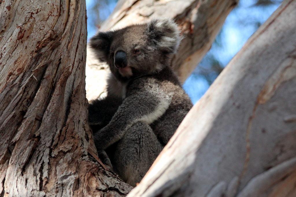 Australia1618_KangorooIsland_HansonBayWildlifeSanctuary
