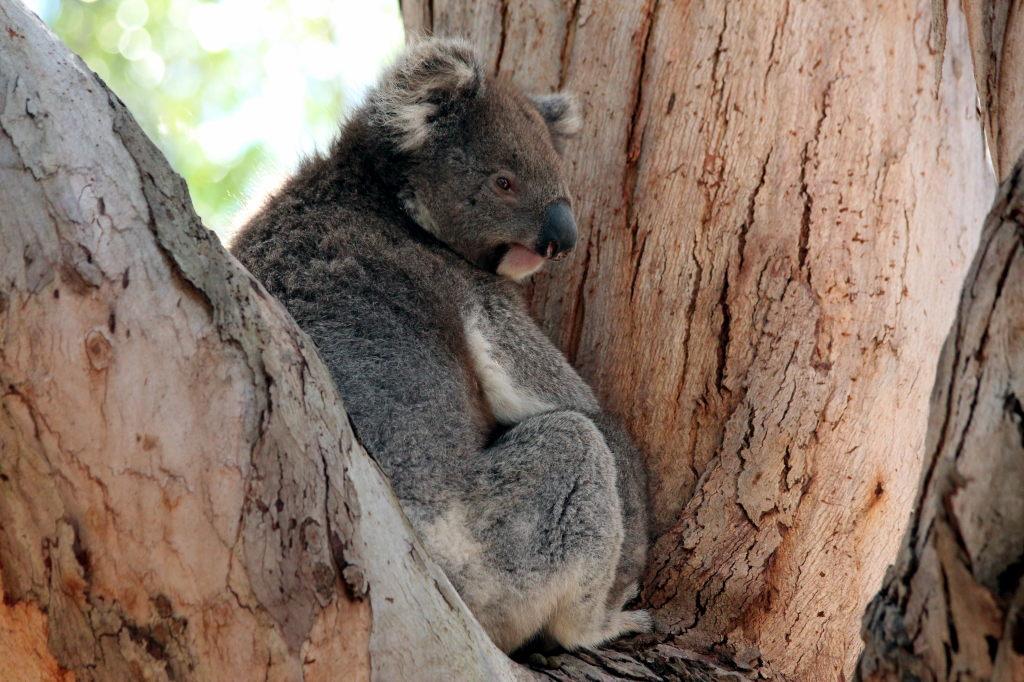 Australia1624_KangorooIsland_HansonBayWildlifeSanctuary