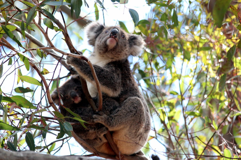 Australia1672_KangorooIsland_HansonBayWildlifeSanctuary