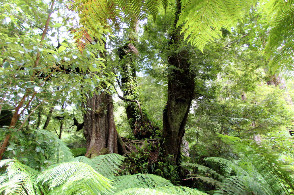 Australia3964_GreatOceanRoad_MaitsRestRainforest