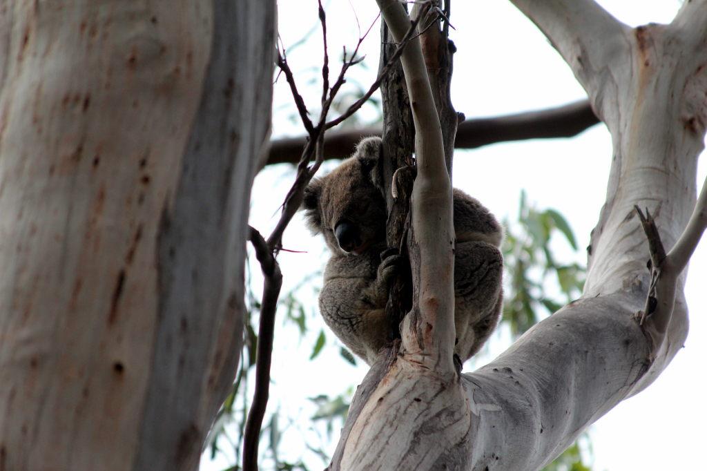 Australia4114_GreatOceanRoad_KennettRiver_KoalaWalk