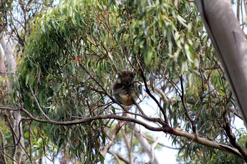 Australia4121_GreatOceanRoad_KennettRiver_KoalaWalk