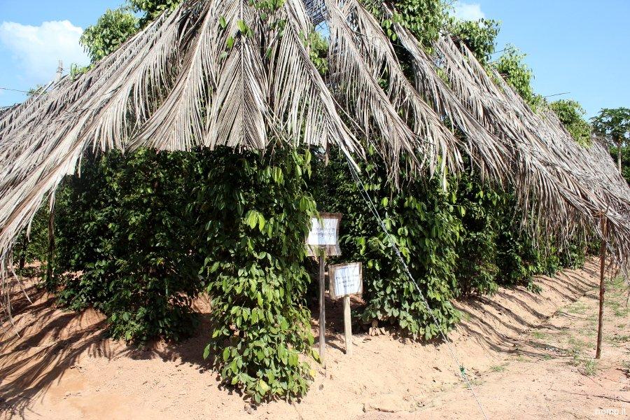 cambogia1921_kep_piantagionikampotpepper