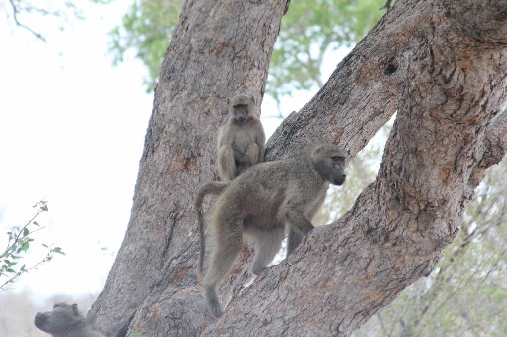 Sudafrica_3623_ZA_KrugerNationalPark