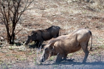 Sudafrica_2288_ZA_KrugerNationalPark